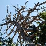 Los Gigantes de la Sila – Monumento natural Italiano – Fotos